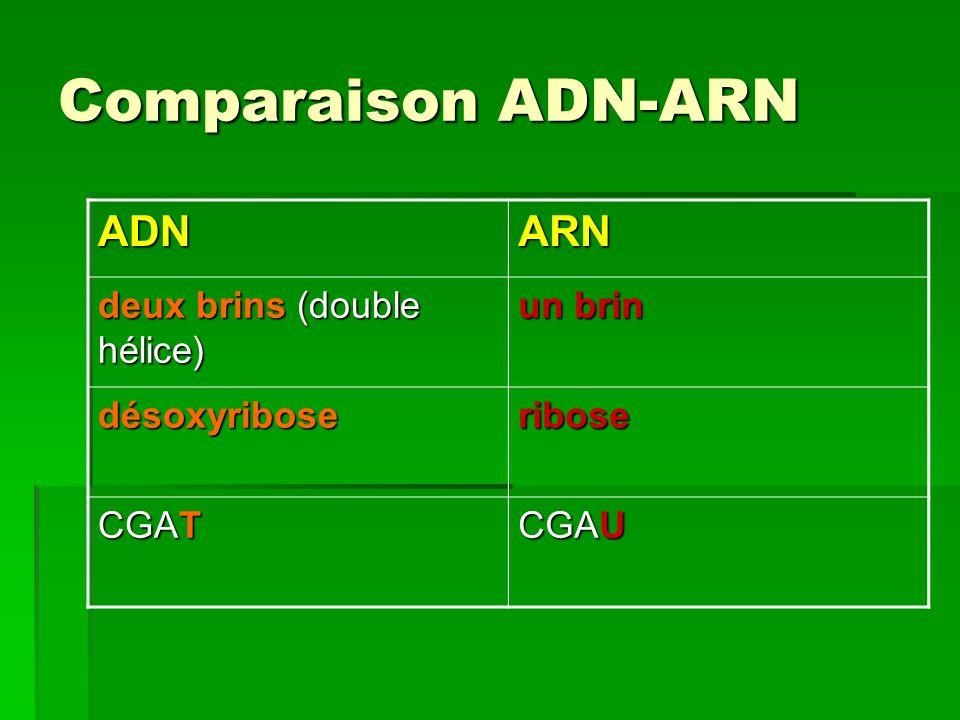 Comparaison ADN-ARN ADN ARN deux brins (double hélice) un brin