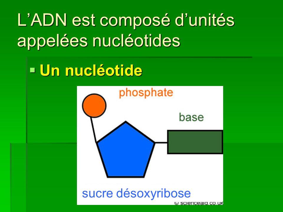 L'ADN est composé d'unités appelées nucléotides