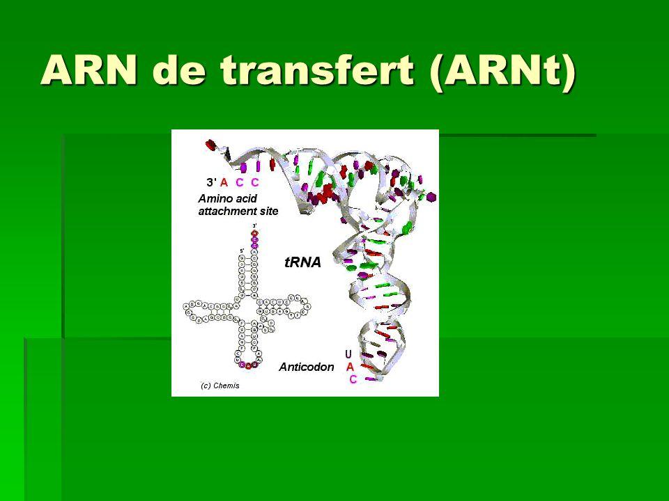 ARN de transfert (ARNt)