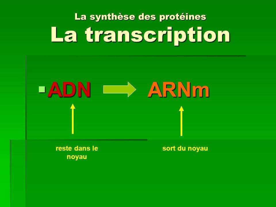La synthèse des protéines La transcription