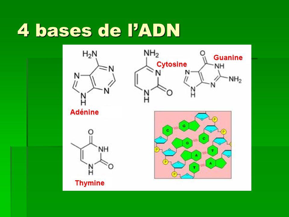 4 bases de l'ADN Guanine Cytosine Adénine Thymine