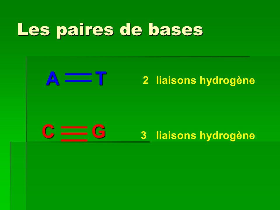 Les paires de bases A T 2 liaisons hydrogène C G 3 liaisons hydrogène