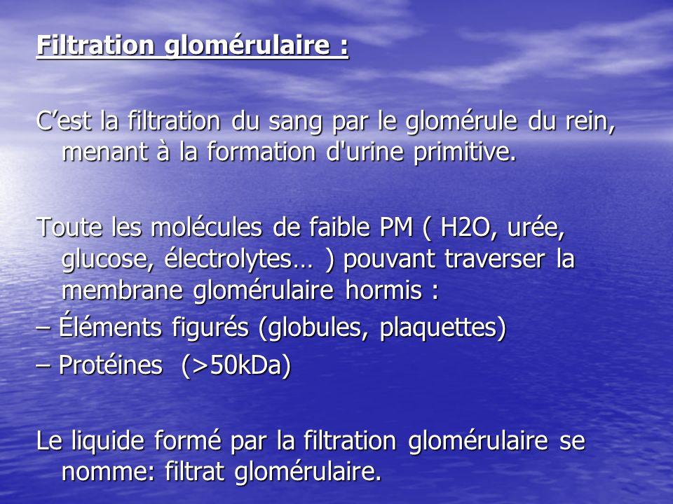 Filtration glomérulaire : C'est la filtration du sang par le glomérule du rein, menant à la formation d urine primitive.
