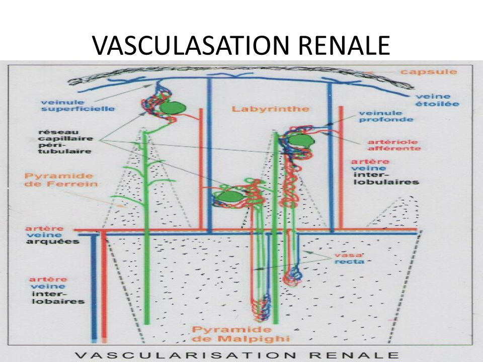 VASCULASATION RENALE
