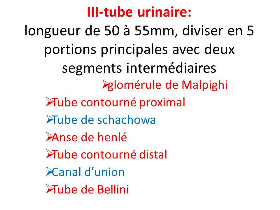 III-tube urinaire: longueur de 50 à 55mm, diviser en 5 portions principales avec deux segments intermédiaires