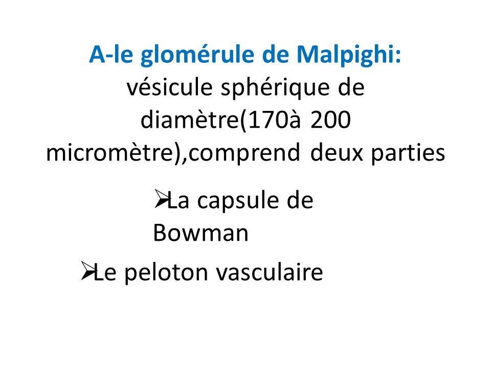 La capsule de Bowman Le peloton vasculaire