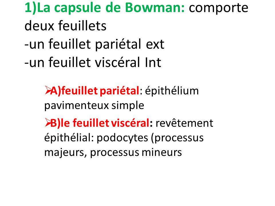 1)La capsule de Bowman: comporte deux feuillets -un feuillet pariétal ext -un feuillet viscéral Int