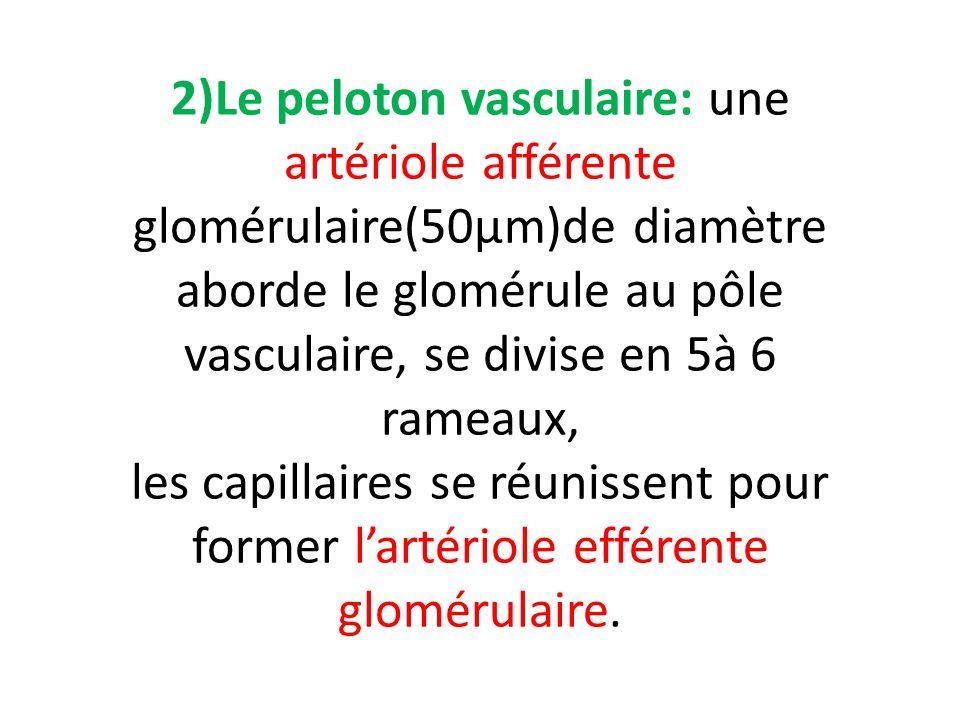 2)Le peloton vasculaire: une artériole afférente glomérulaire(50µm)de diamètre aborde le glomérule au pôle vasculaire, se divise en 5à 6 rameaux, les capillaires se réunissent pour former l'artériole efférente glomérulaire.