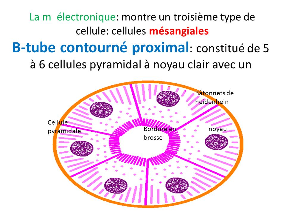 La m électronique: montre un troisième type de cellule: cellules mésangiales
