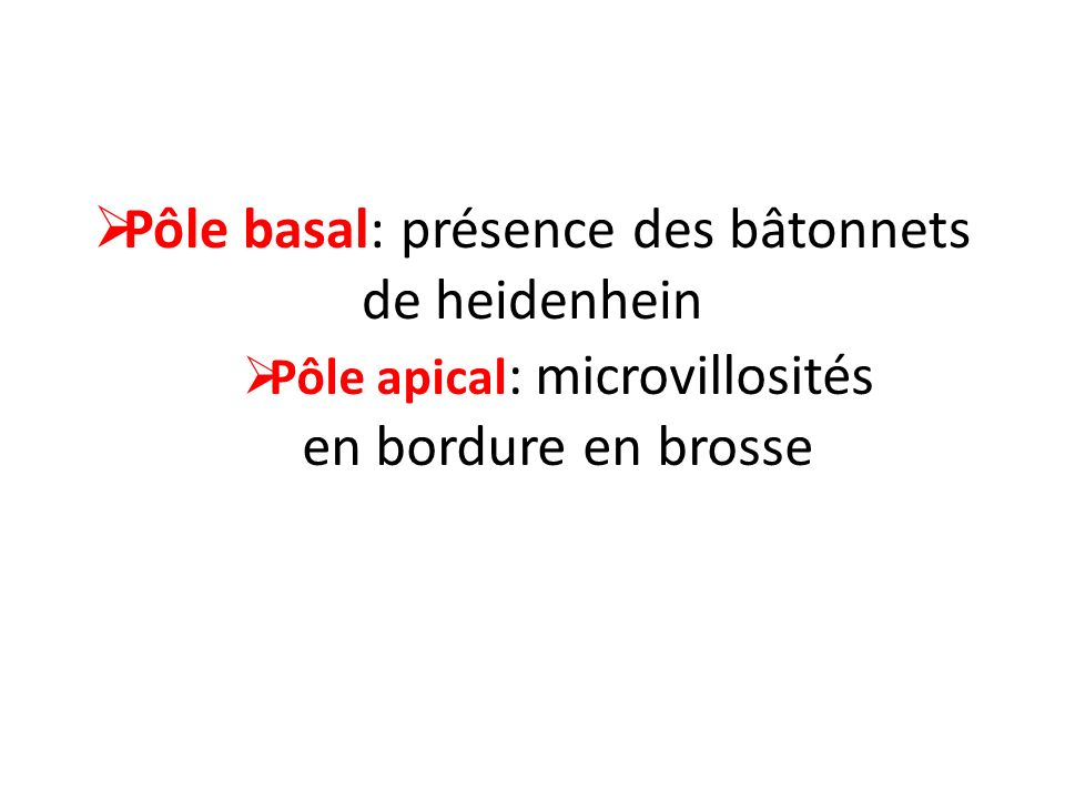 Pôle basal: présence des bâtonnets de heidenhein