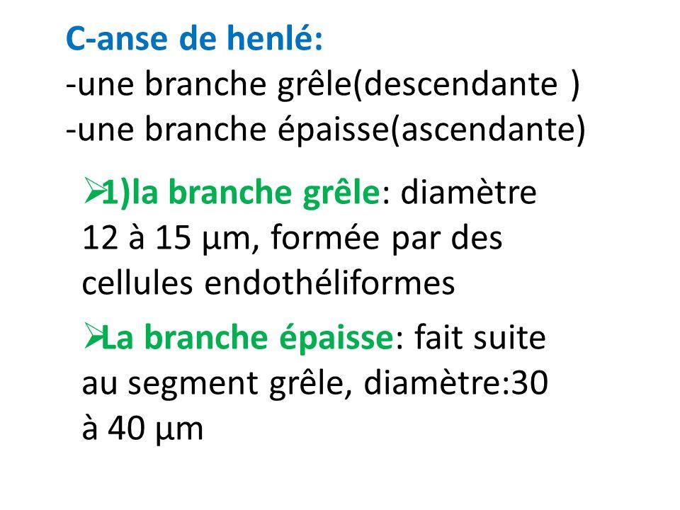 C-anse de henlé: -une branche grêle(descendante ) -une branche épaisse(ascendante)