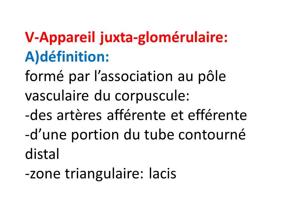 V-Appareil juxta-glomérulaire: A)définition: formé par l'association au pôle vasculaire du corpuscule: -des artères afférente et efférente -d'une portion du tube contourné distal -zone triangulaire: lacis