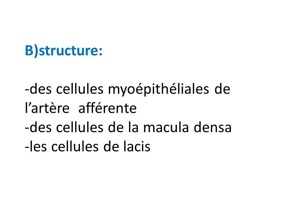 B)structure: -des cellules myoépithéliales de l'artère afférente -des cellules de la macula densa -les cellules de lacis