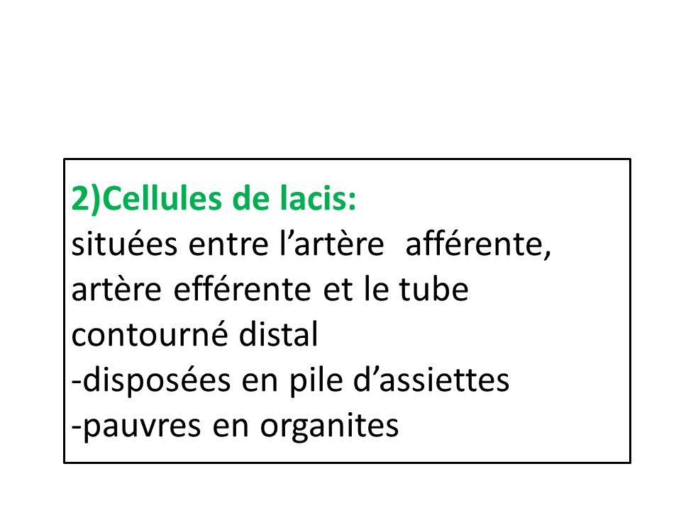 2)Cellules de lacis: situées entre l'artère afférente, artère efférente et le tube contourné distal -disposées en pile d'assiettes -pauvres en organites