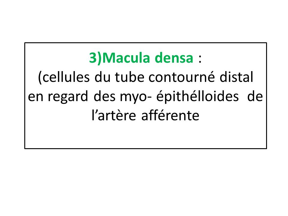 3)Macula densa : (cellules du tube contourné distal en regard des myo- épithélloides de l'artère afférente
