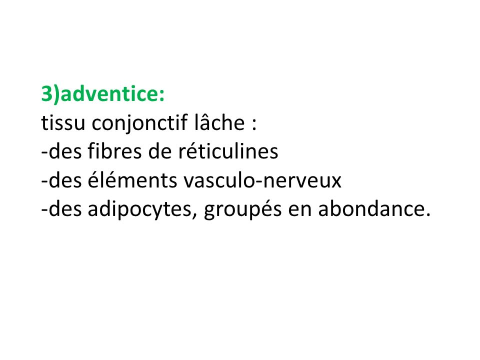 3)adventice: tissu conjonctif lâche : -des fibres de réticulines -des éléments vasculo-nerveux -des adipocytes, groupés en abondance.