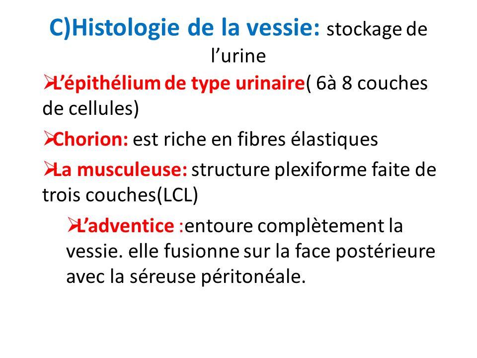 C)Histologie de la vessie: stockage de l'urine