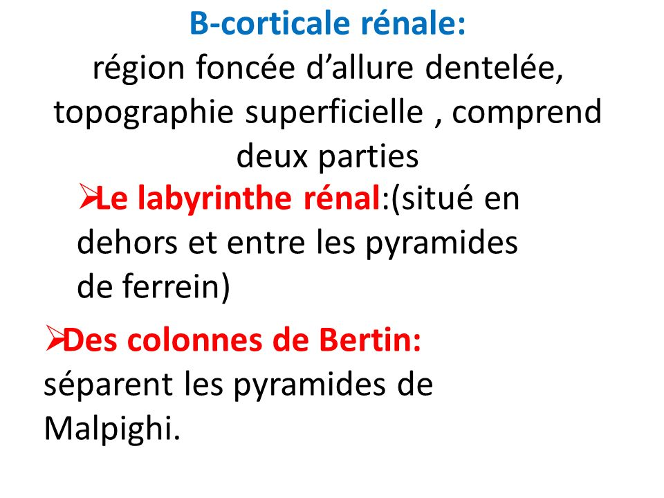 B-corticale rénale: région foncée d'allure dentelée, topographie superficielle , comprend deux parties