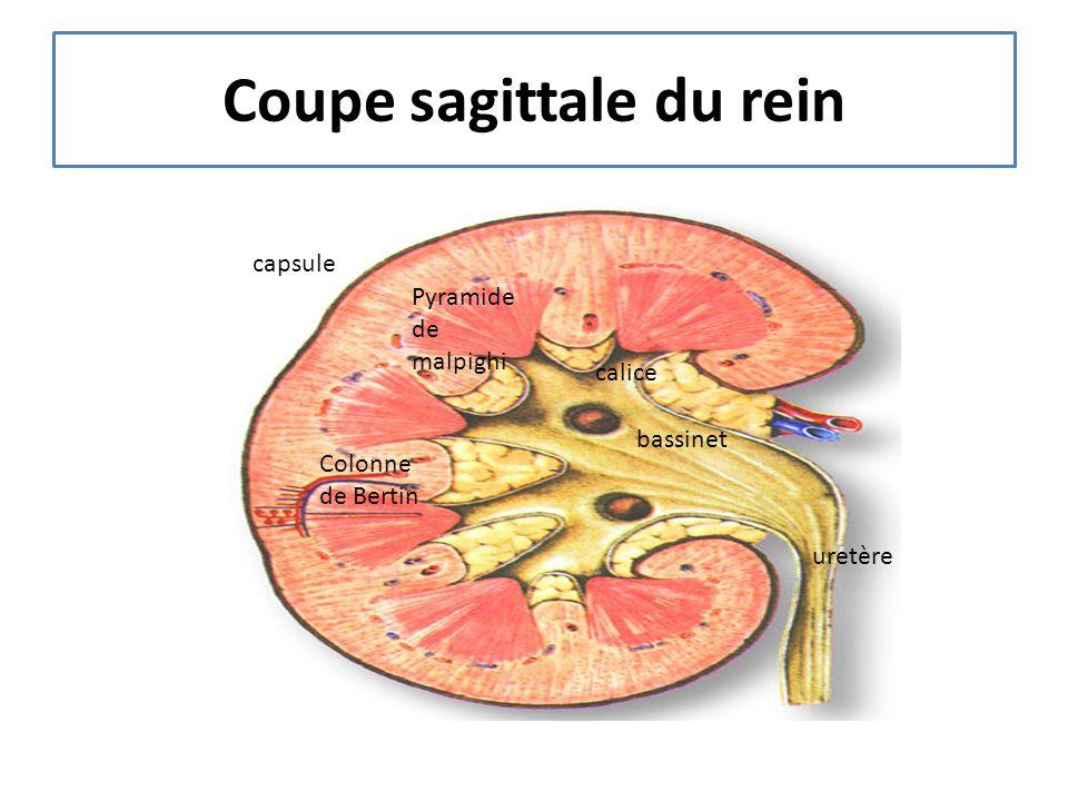 Coupe sagittale du rein