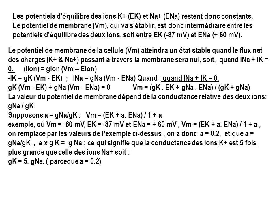 Les potentiels d équilibre des ions K+ (EK) et Na+ (ENa) restent donc constants. Le potentiel de membrane (Vm), qui va s établir, est donc intermédiaire entre les potentiels d équilibre des deux ions, soit entre EK (-87 mV) et ENa (+ 60 mV).
