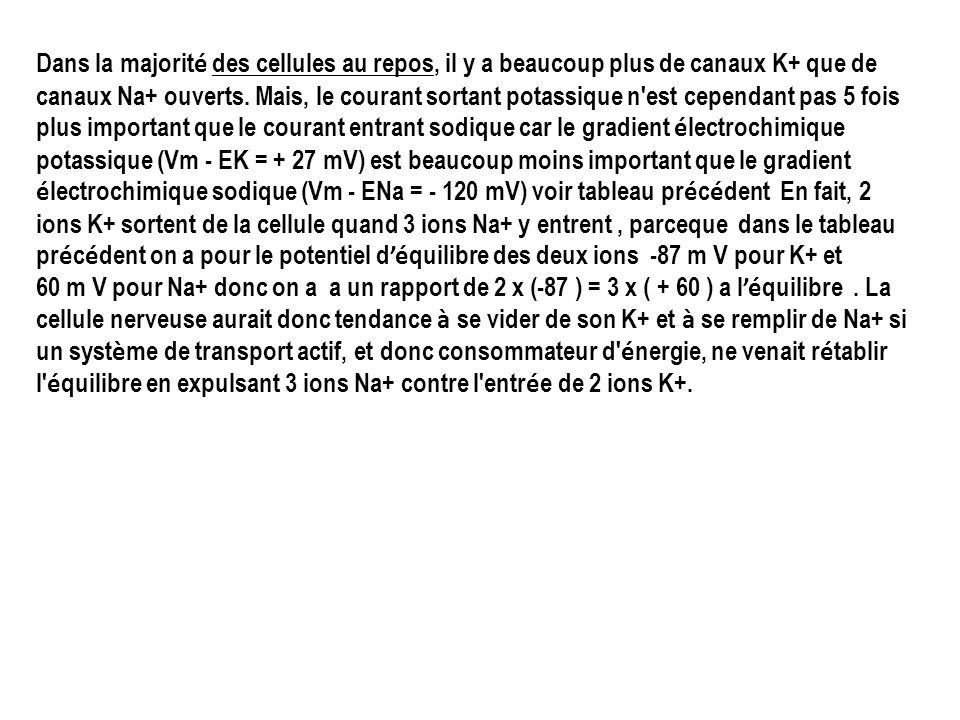 Dans la majorité des cellules au repos, il y a beaucoup plus de canaux K+ que de canaux Na+ ouverts. Mais, le courant sortant potassique n est cependant pas 5 fois plus important que le courant entrant sodique car le gradient électrochimique potassique (Vm - EK = + 27 mV) est beaucoup moins important que le gradient électrochimique sodique (Vm - ENa = - 120 mV) voir tableau précédent En fait, 2 ions K+ sortent de la cellule quand 3 ions Na+ y entrent , parceque dans le tableau précédent on a pour le potentiel d'équilibre des deux ions -87 m V pour K+ et