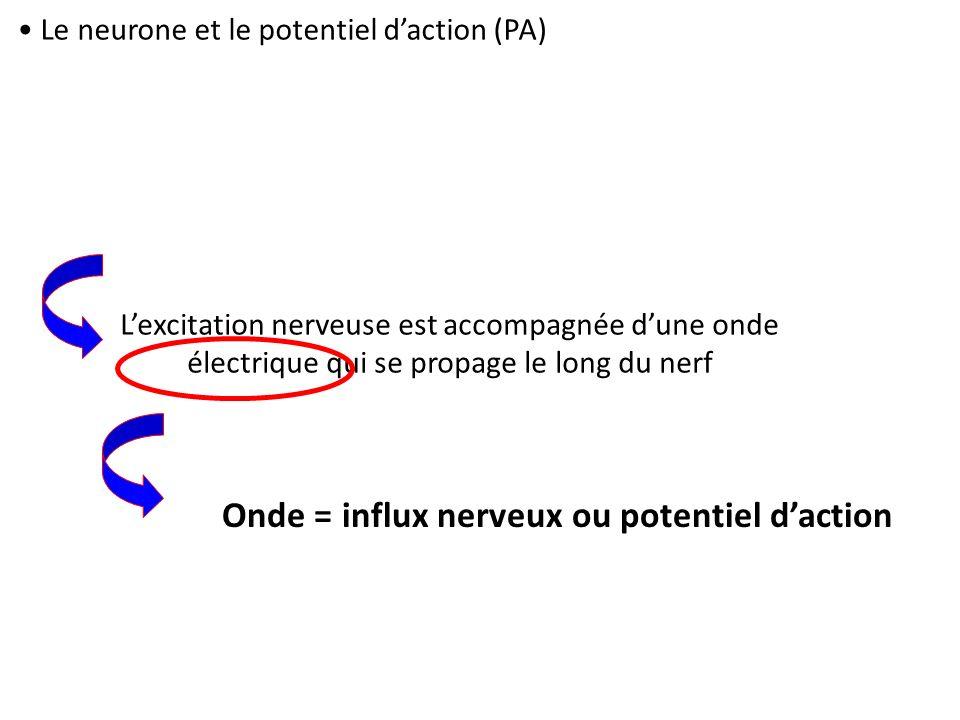 Onde = influx nerveux ou potentiel d'action