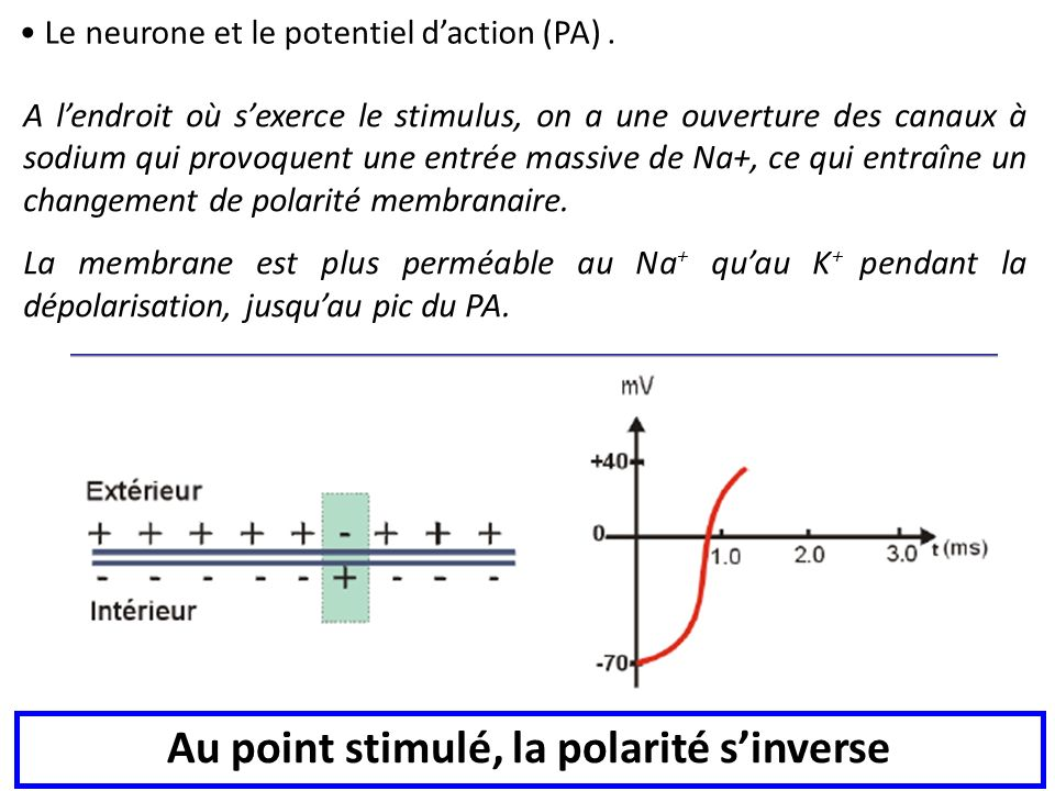 Au point stimulé, la polarité s'inverse