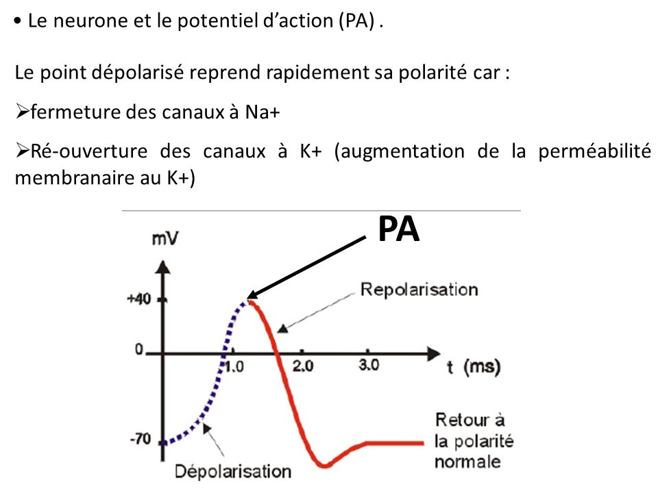 PA Le neurone et le potentiel d'action (PA) .