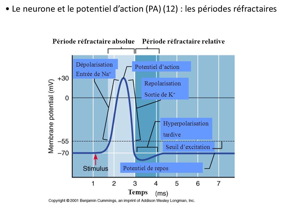 Le neurone et le potentiel d'action (PA) (12) : les périodes réfractaires