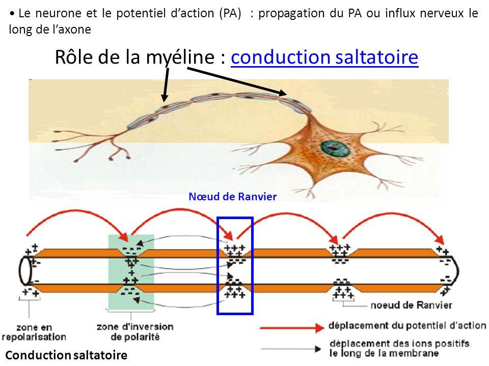 Rôle de la myéline : conduction saltatoire