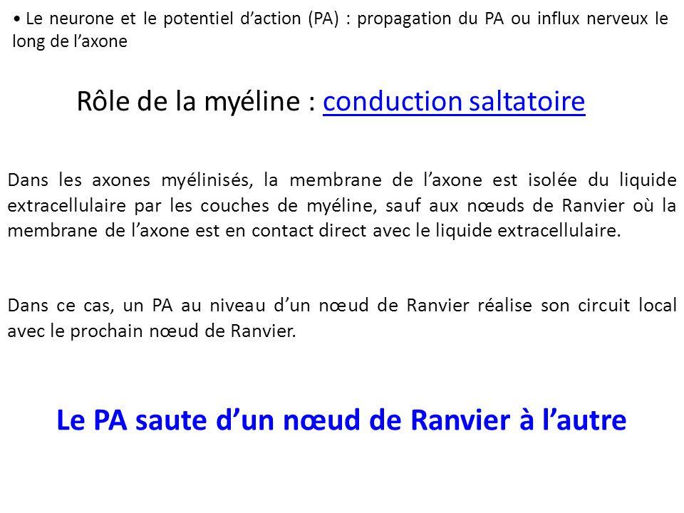 Le PA saute d'un nœud de Ranvier à l'autre