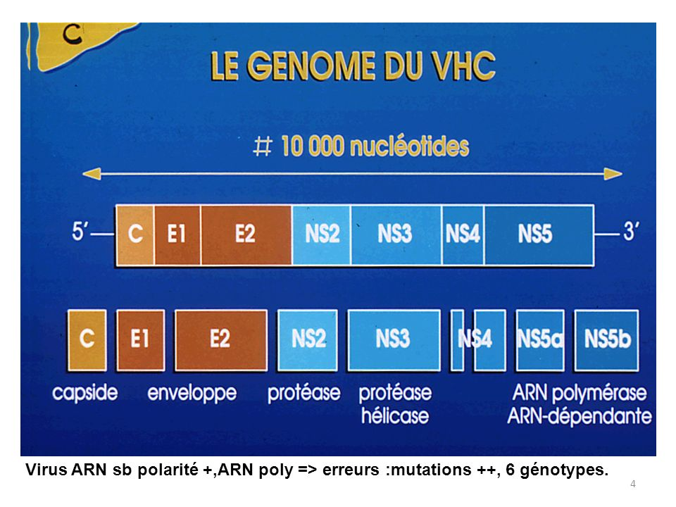 Virus ARN sb polarité +,ARN poly => erreurs :mutations ++, 6 génotypes.