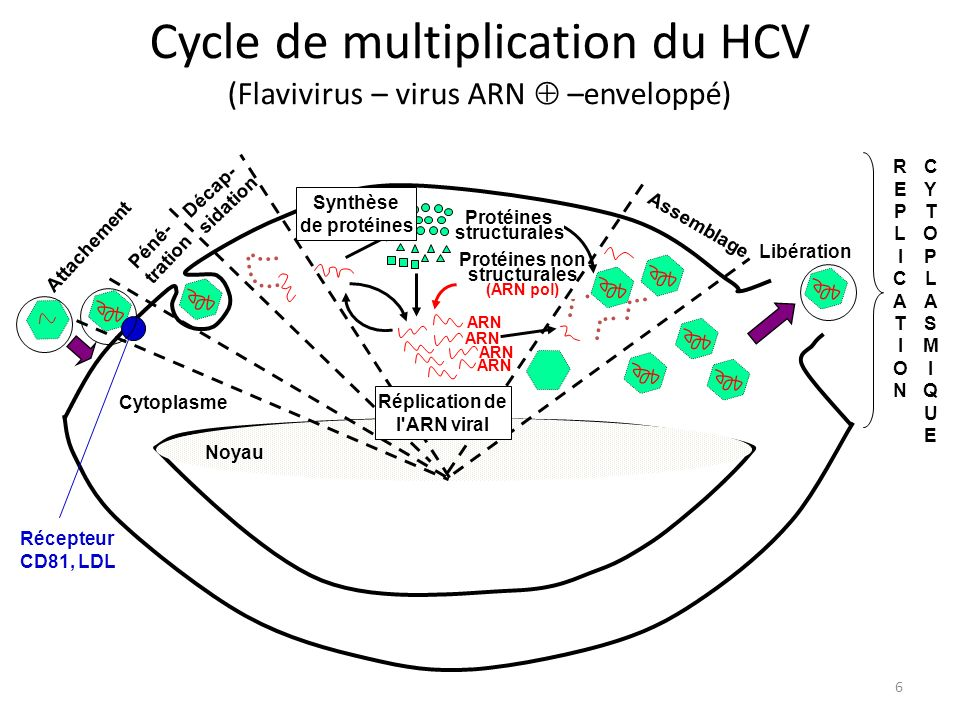 Cycle de multiplication du HCV (Flavivirus – virus ARN  –enveloppé)