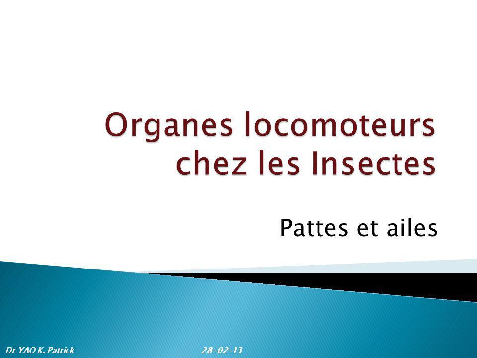 Organes locomoteurs chez les Insectes