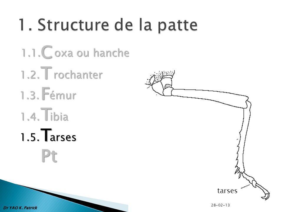 C T F Pt 1. Structure de la patte 1.1. oxa ou hanche 1.2. rochanter