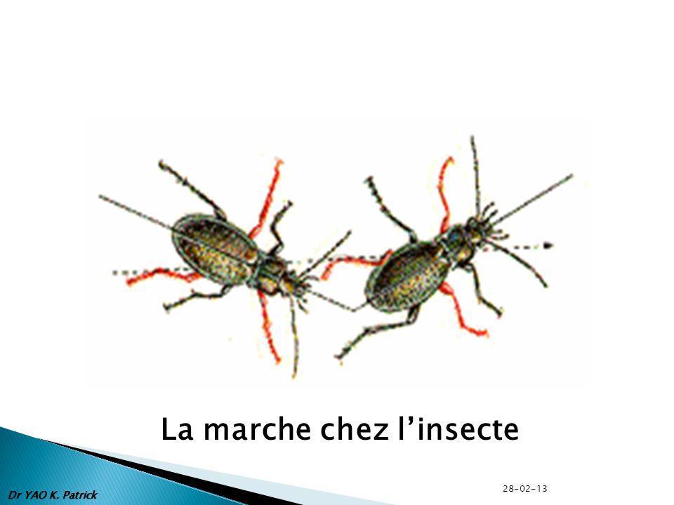 La marche chez l'insecte
