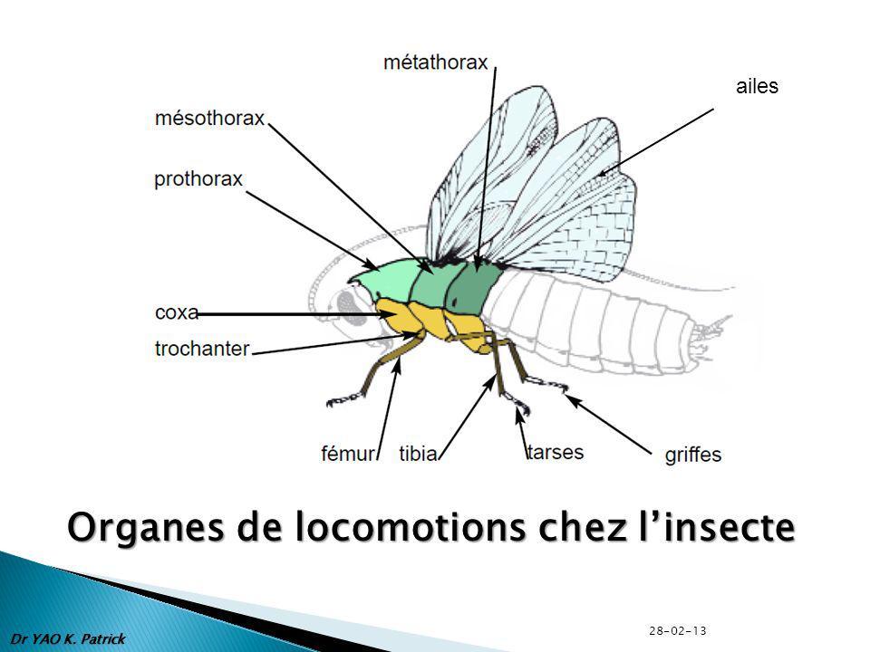 Organes de locomotions chez l'insecte