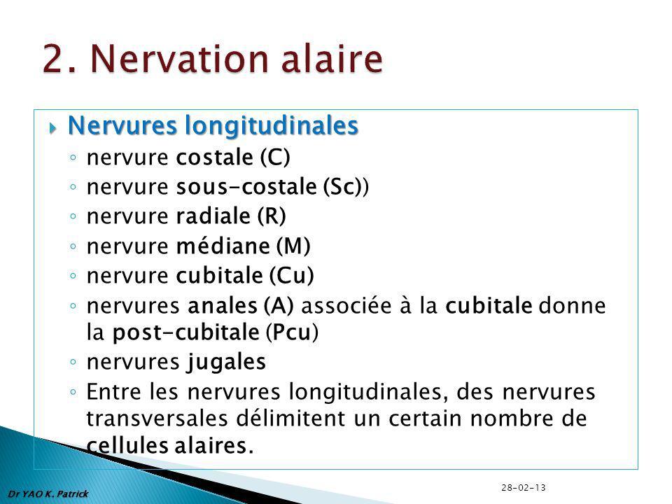 2. Nervation alaire Nervures longitudinales nervure costale (C)