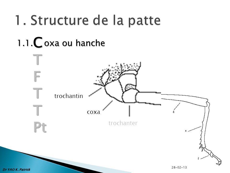 C T F Pt 1. Structure de la patte 1.1. oxa ou hanche trochantin coxa