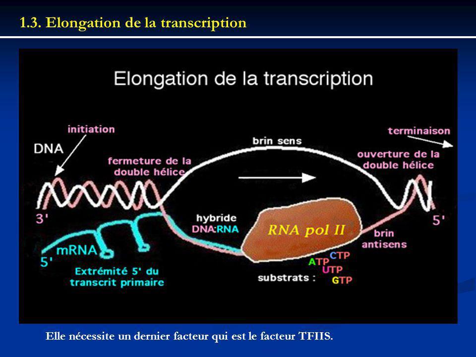 1.3. Elongation de la transcription