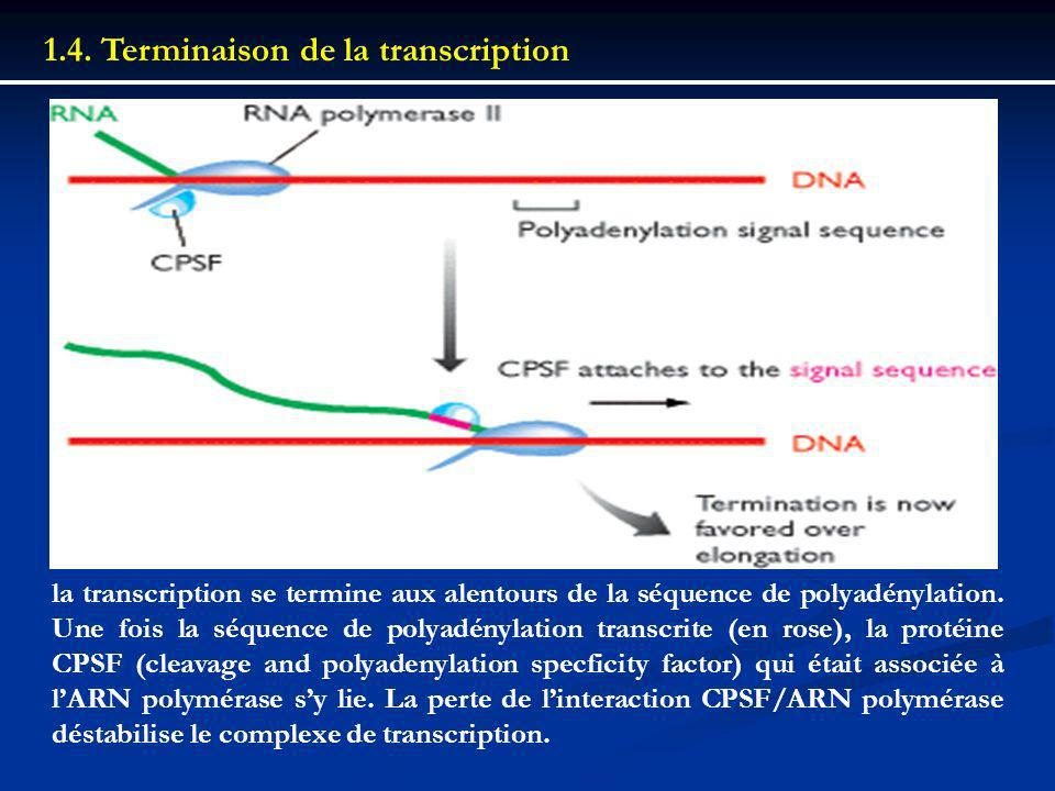 1.4. Terminaison de la transcription