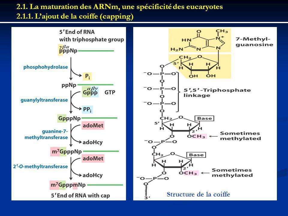 2.1. La maturation des ARNm, une spécificité des eucaryotes