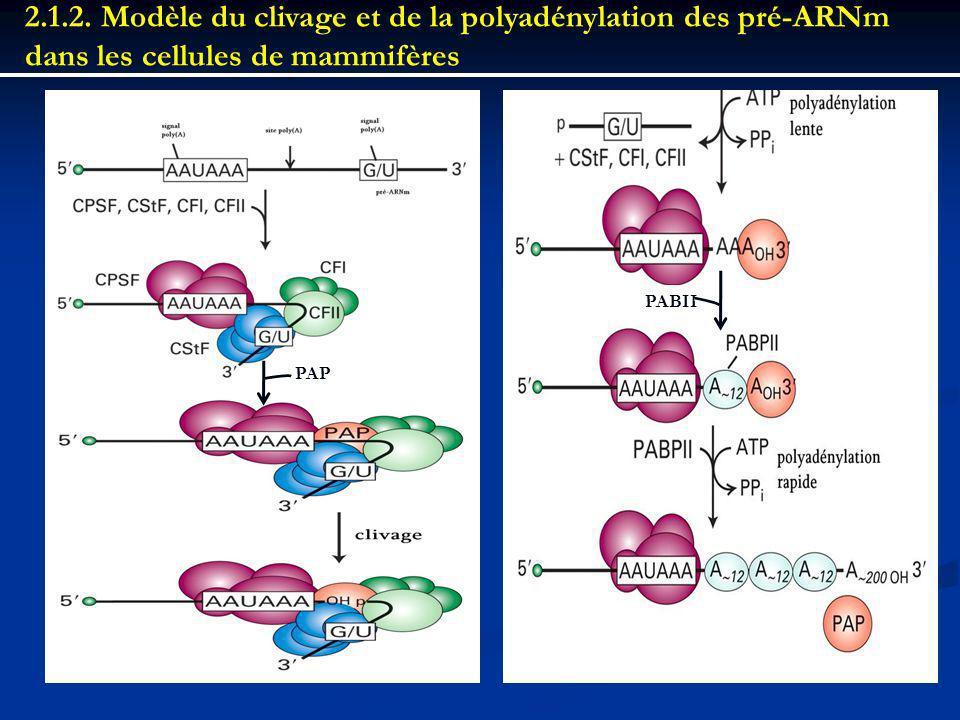2.1.2. Modèle du clivage et de la polyadénylation des pré-ARNm dans les cellules de mammifères