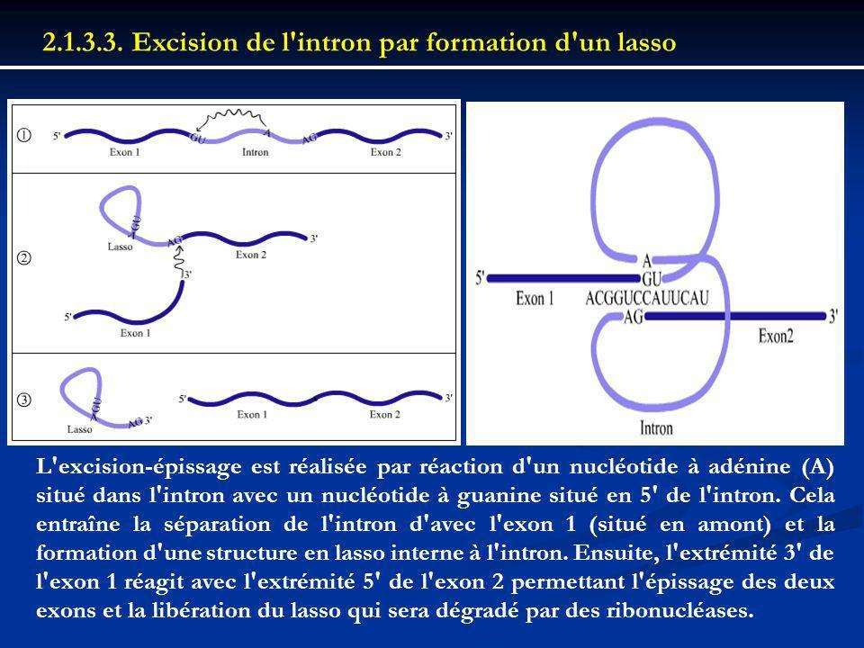 2.1.3.3. Excision de l intron par formation d un lasso