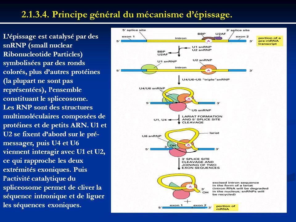 2.1.3.4. Principe général du mécanisme d'épissage.