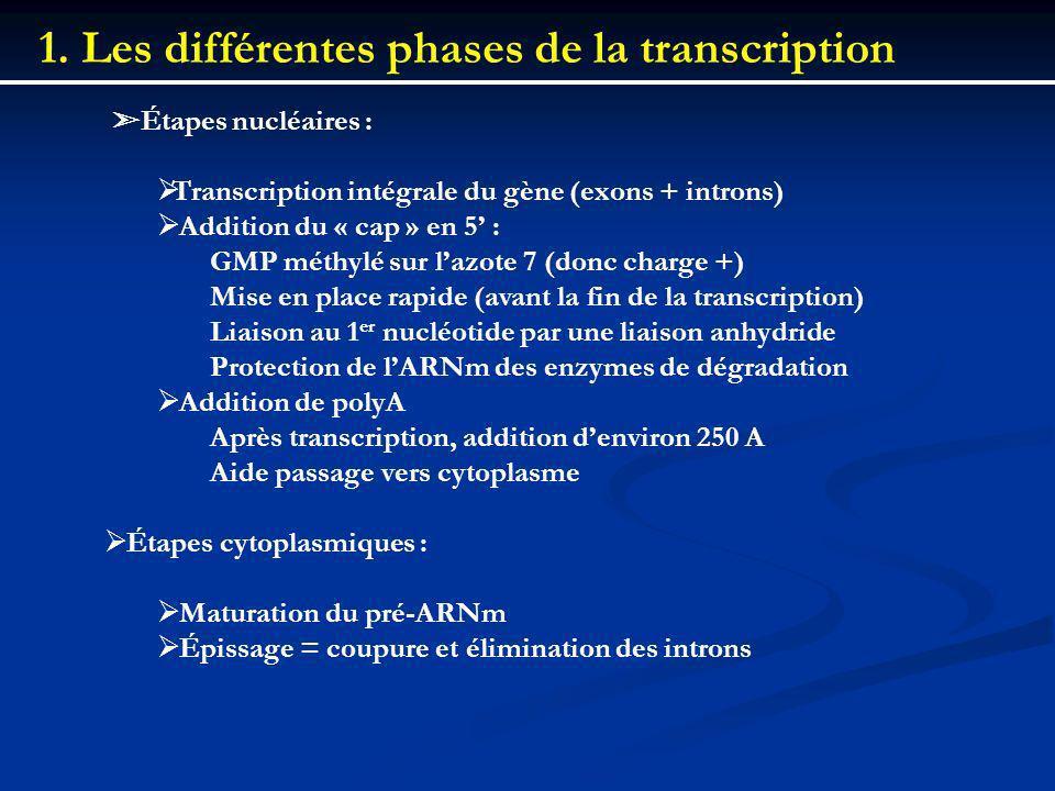 1. Les différentes phases de la transcription