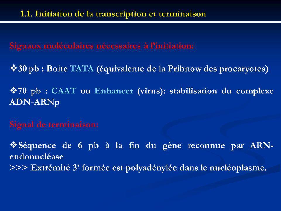 1.1. Initiation de la transcription et terminaison