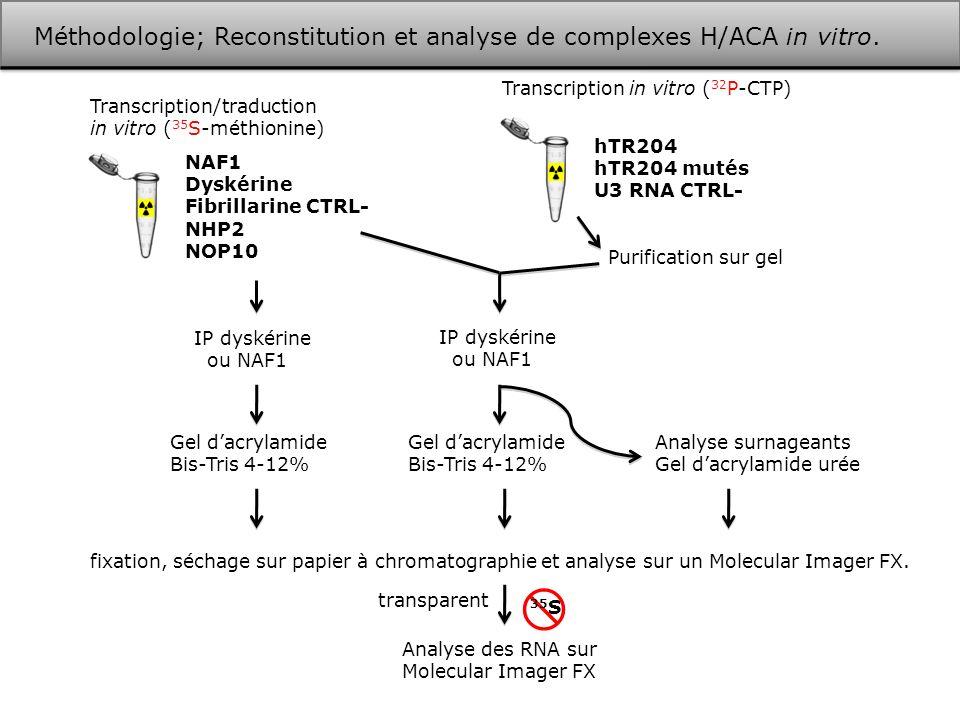 Méthodologie; Reconstitution et analyse de complexes H/ACA in vitro.