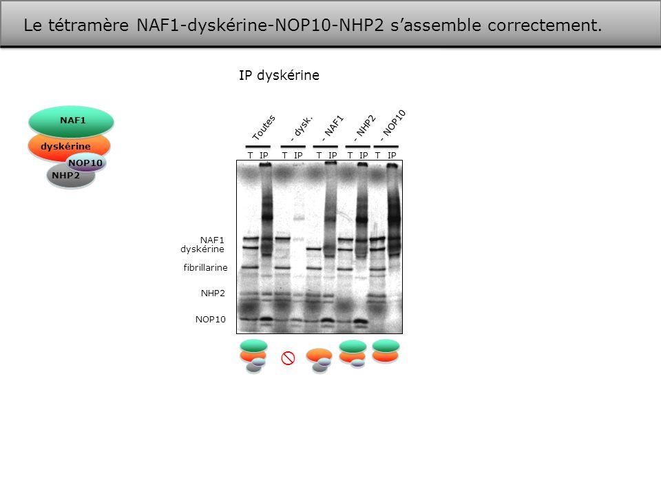  Le tétramère NAF1-dyskérine-NOP10-NHP2 s'assemble correctement.