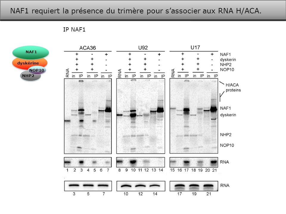 NAF1 requiert la présence du trimère pour s'associer aux RNA H/ACA.